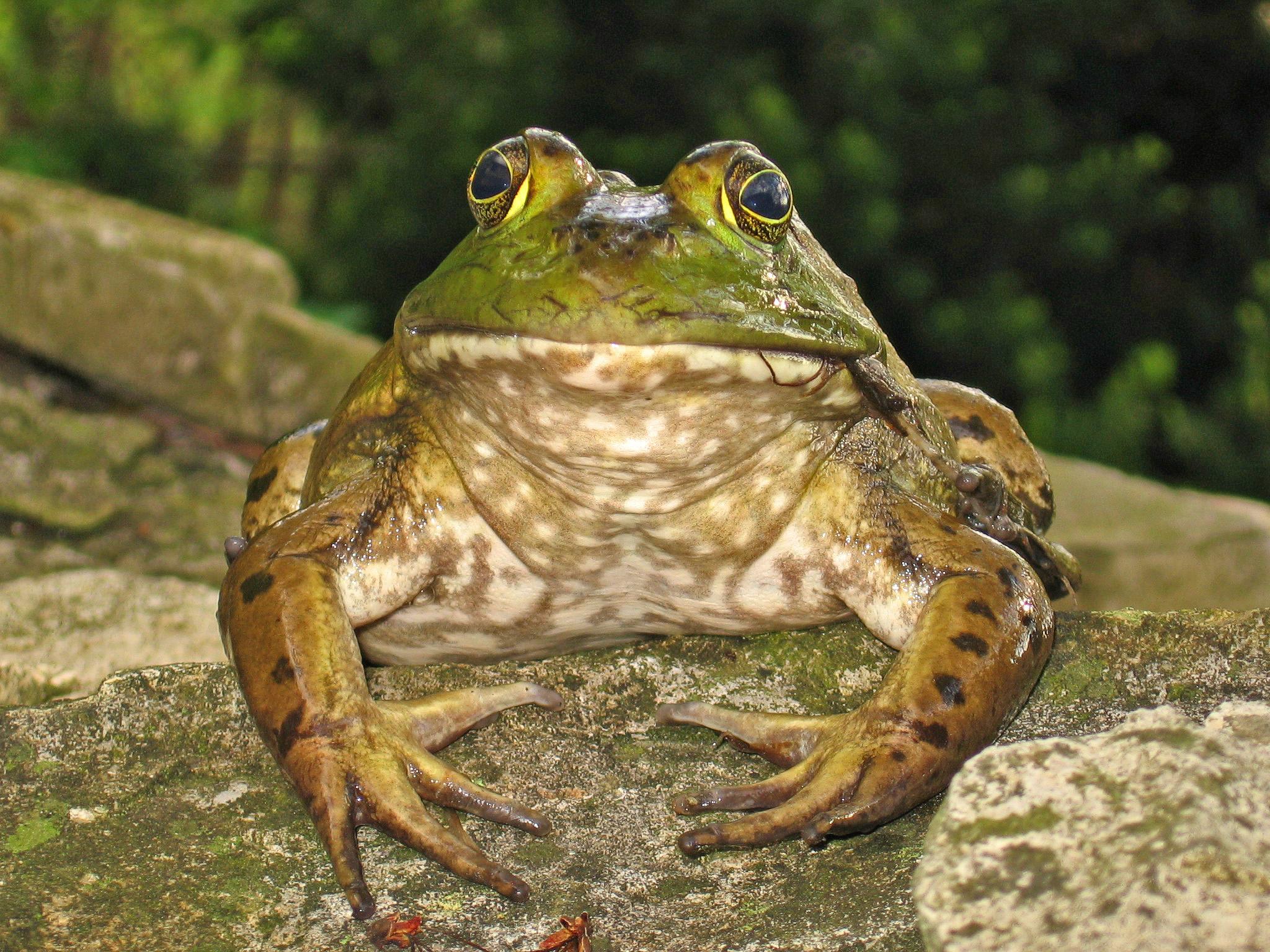 bullfrog-1369128
